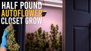 SEED TO HARVEST: 180W HALF POUND AUTOFLOWER CLOSET (Full Grow Cycle)