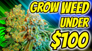 HOW TO GROW INDOOR CANNABIS FOR UNDER $100!