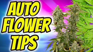 BEGINNER AUTOFLOWER GROW TIPS!