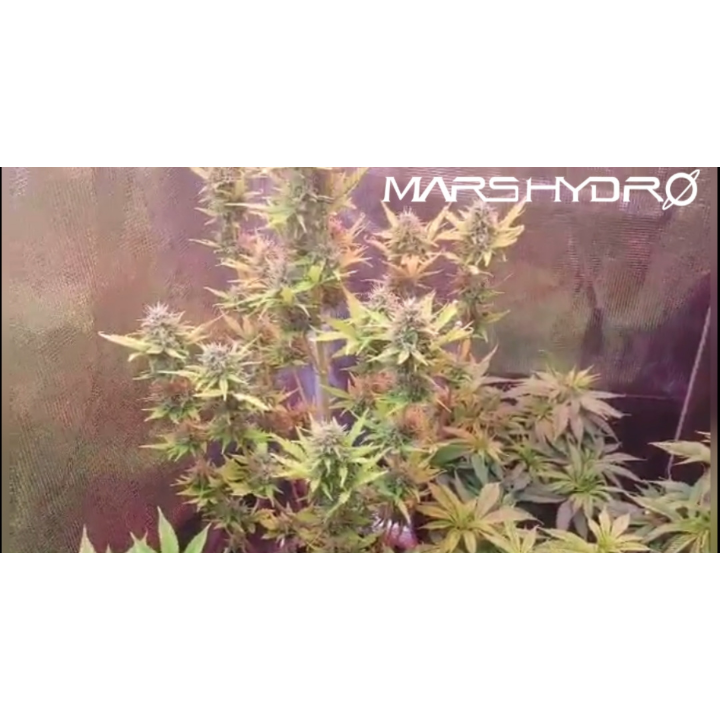 BLUE CHEESE GORILLA GLUE AND HAWAIIAN STYLE DUCK WEEK 8 OF VEG UNDER THE MARS HYDRO TS 1000W LED