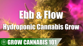 Ebb & Flow Hydro Cannabis Timelapse Grow - Clone To Harvest