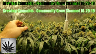 Growing Cannabis - Community Grow Channel 10-20-19 With Autopot & Remo Nutrients