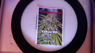 New grow series : Tahoe O.g germination to sprout . Day 1
