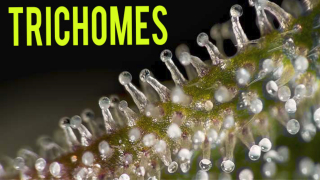 All About Trichomes on Cannabis Plants & When To Harvest!