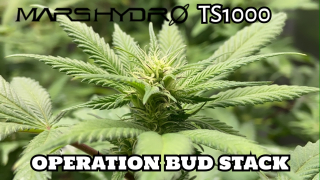 Operation Bud Stack Under the Mars Hydro TS1000
