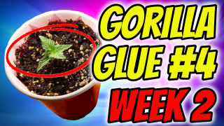 INDOOR CANNABIS GROW: Gorilla Glue #4 (Week 2 Veg)