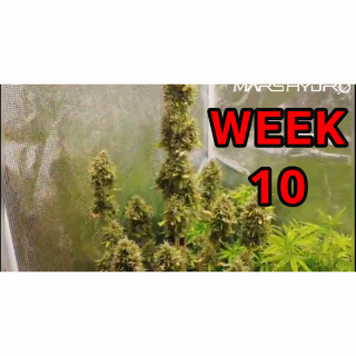 BLUE CHEESE GORILLA GLUE AND HAWAIIAN STYLE DUCK WEEK 10 OF VEG UNDER THE MARS HYDRO TS 1000W LED  <br />