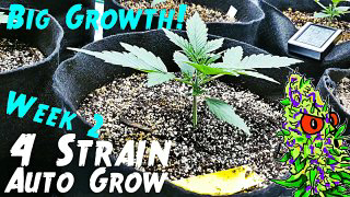 4 Strain Auto Grow Ep.2 | Week 2 (Insane Vigorous Growth)