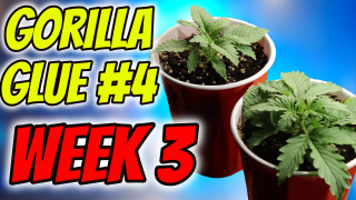 INDOOR CANNABIS GROW: GORILLA GLUE #4 Week 3 Veg!