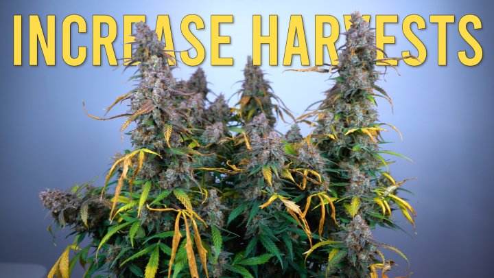 How to Increase Harvests Per Year... But Mainly An Autoflower Update