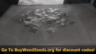 Marijuana Seed Harvest - I Can't Believe This Happened and What Are Your Thoughts?
