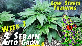 4 Strain Autoflower Grow Ep.3 | Week 3 (Low Stress Training)