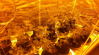 10x5 Grow Tent Update Day 5 in Flower. 12 GG4s in 3 gallon smart pots. January 23rd 2020
