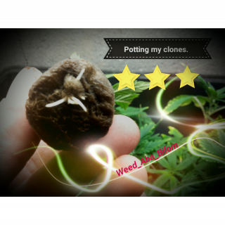 Potting my clone in a minute / Rempotage des clônes