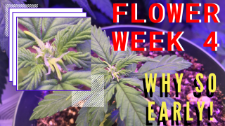 Week 4| Flowering White Widow Auto!?!?