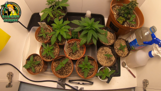 ShaggyGrower's seedling/early veg closet grow. A Valentines update of my ladies