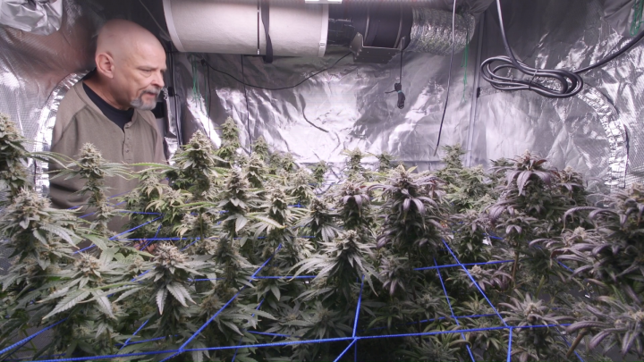 Final Update Before Harvest Of Flower Tent #2, GG4 Crosses By Nuclear Dawn Genetics