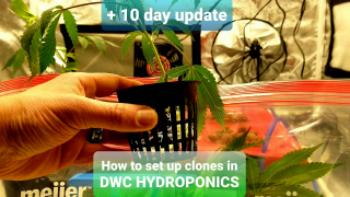 How to set up clones in a DWC hydroponic system plus first week update/problems