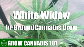 In-Ground White Widow Cannabis Timelapse Grow