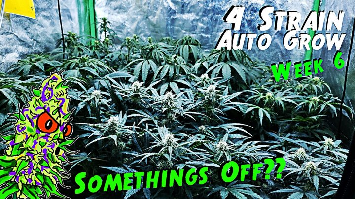 4 Strain Autoflower Grow Ep.6 | Week 6 (Something Is Strange)
