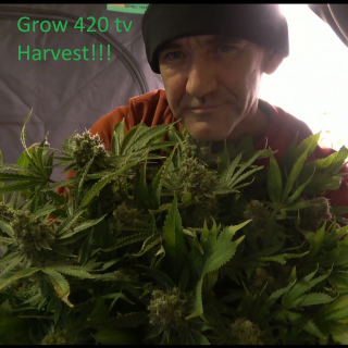 Harvesting our Sky High grow room!!! On the road to a 1 pound grow!!! Trimming Beautiful buds!!!