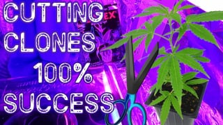 How To Clone Cannabis Plants For Beginners Marijuana Taking Cuttings