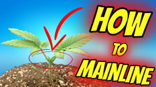 MAINLINING CANNABIS FOR COLAS!