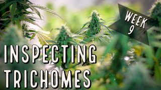 Season 2 (Week 9): Inspecting Trichomes for Harvest