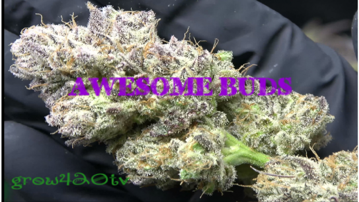 Organic Cannabis Harvest!!! Our Last Plant Comes Down!!!