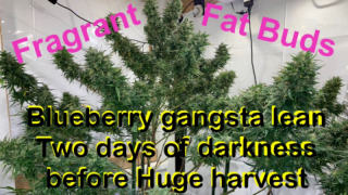 Forester's Flavor Forest ( Blueberry Gangsta Lean is done )