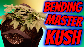 INDOOR CANNABIS GROW: MASTER KUSH Week 6 GROW VLOG