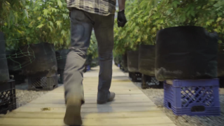 How we make our pre rolls and Solar joint here at Eco Pharm