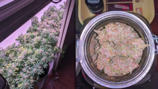 How I Grew Organic Cannabis In My Closet: God Bud and Strawberry Cough Strains