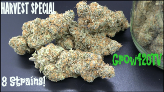 Our Harvest Special! 8 Strains!