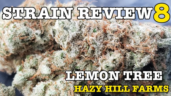 LEMON TREE STRAIN REVIEW 8 [ GROWERS ONLY CO ]