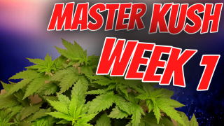 INDOOR CANNABIS GROW: MASTER KUSH WEEK 1 FLOWER (GROW VLOG)
