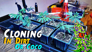 How To Clone Cannabis | In Dirt Or Coco