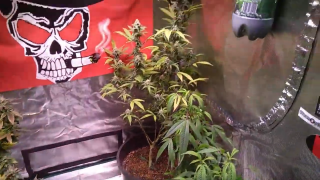 Tripz _88 Growing it up in the Tripz garden using TNB Naturals. TNB Sponsored Grower.