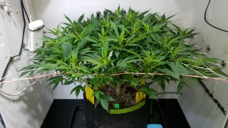 Organic Grow with Foxfarm Ocean Forest - The Flip to Flower & Change in Diet -