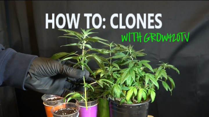 Clones!!! How to make them, and transplant to soil!!!