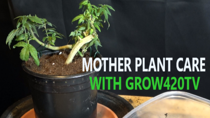 Mother Plant Care