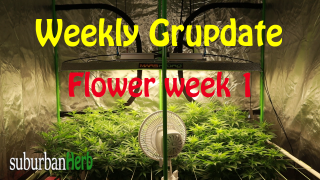 suBurBan heRb's weekly grow update. Week 1 Flower. White Widow photoperiods from Crop King Seeds.