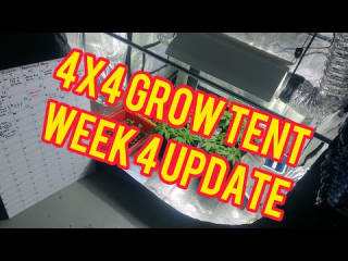 Week 4: 4x4 600W Cannabis Grow Tent