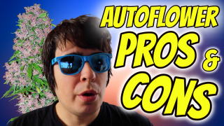 PROS AND CONS OF AUTOFLOWER CANNABIS!