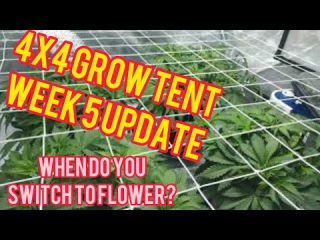Week 5: 4x4 600W Cannabis Grow Tent