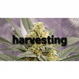 Marijuana Diaries  ♡ harvesting episode 17