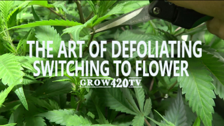 Garden Update!!! The Art Of Defoliating!!! Lets Switch To Flower!!!