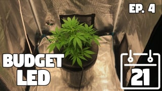 FIMing Time! Seed to Harvest - Deep Water Culture