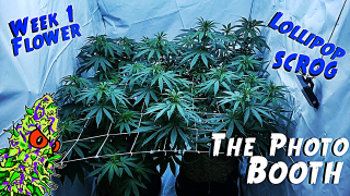 The Photo Booth Ep. 1 | OG Kush Prep And Flower Week 1 (Lollipoping & SCROG))