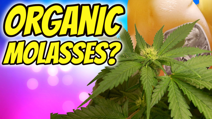 INDOOR CANNABIS GROW: ORGANIC MOLASSES IN FLOWER?